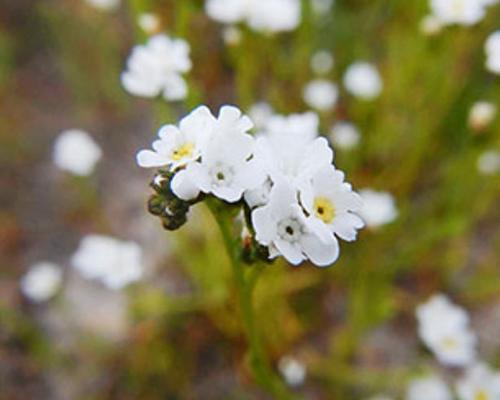 Calistoga popcorn flower